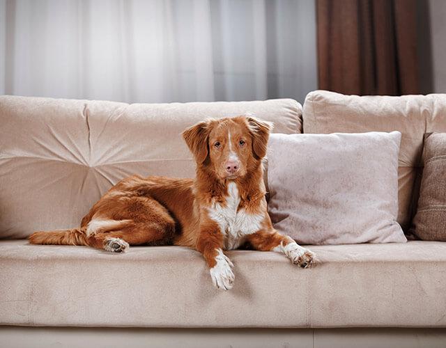 dog sitting on freshly cleaned upholstery